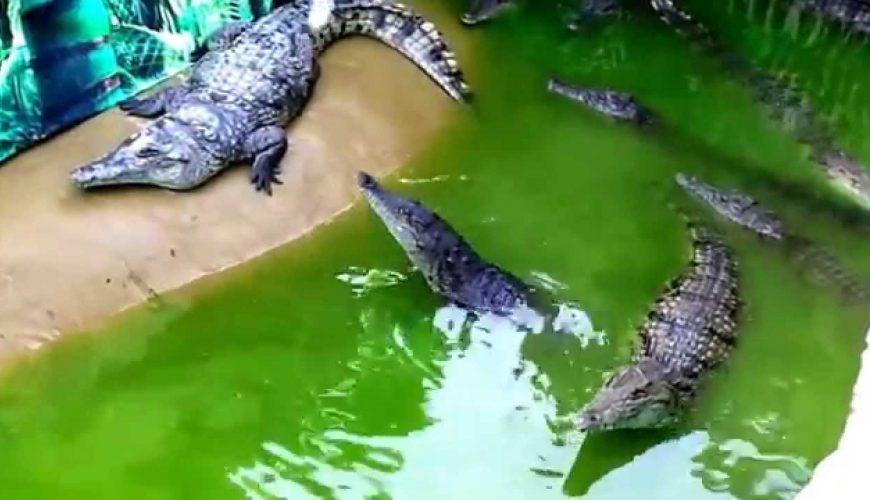 Крокодиловая ферма, Голубицкая